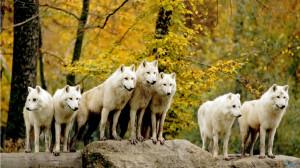 wolf-pack1.jpg